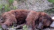 کشتهشدن خرس قهوهای در سمیرم با شلیک گلوله / عکس