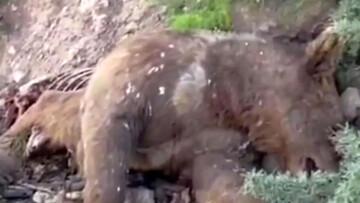 ویدئویی از کشتن خرس قهوهای در ارتفاعات دنا / فیلم