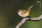 هجوم جالب پرندگان به مناطق مسکونی در استرالیا / فیلم
