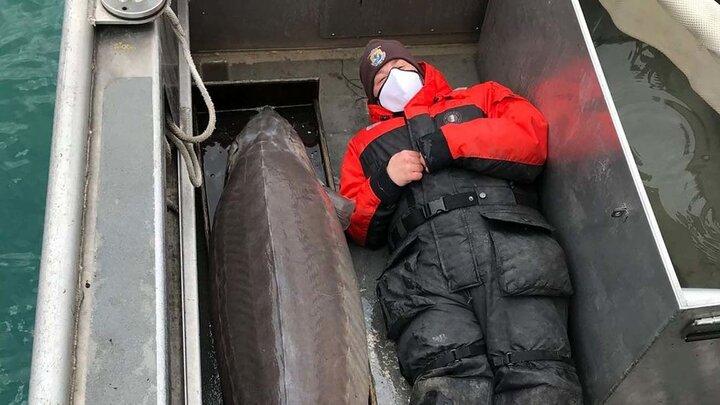 صید پیرترین ماهی جهان از یک رودخانه