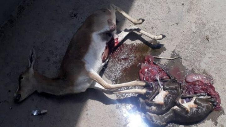 مرگ دردناک ماده آهو در مشهد با ۲ جنین در شکم