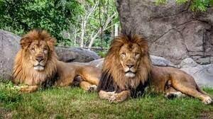 کرونا به شیرها در هند رسید!