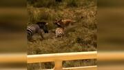 نجات دیدنی بچه گورخر از دهان شیر توسط مادرش / فیلم