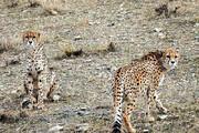 یوزپلنگ شناسنامهدار ایرانی در شاهرود / فیلم