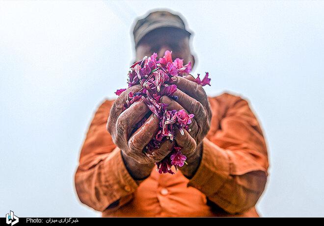 برداشت گل گاوزبان در استانهای شمالی/ تصاویر
