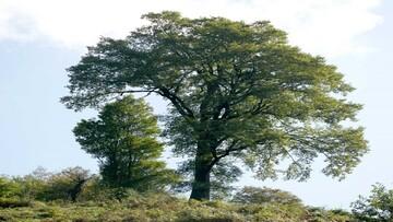 بلند قامت ترین درخت ایران شناسایی شد