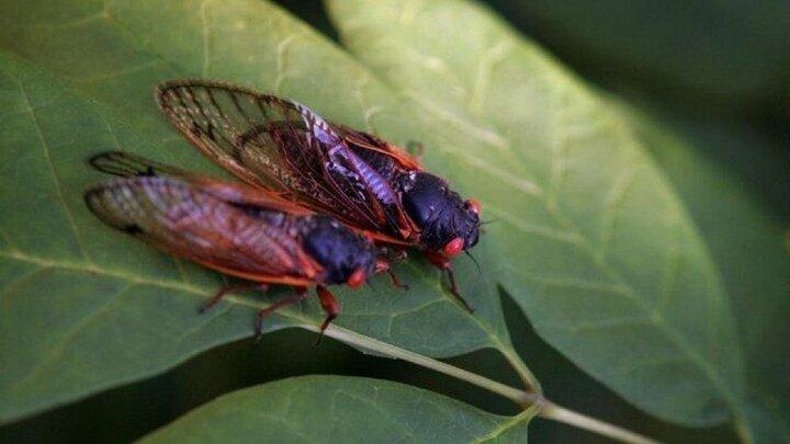 حشرهای که هر ۱۷ سال یکبار از خاک بیرون میآید / عکس