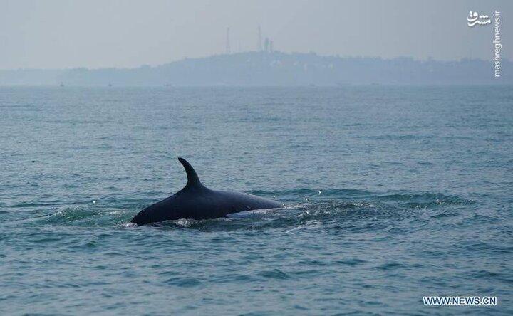 به گِل نشستن نهنگ در ساحل رودخانه / فیلم