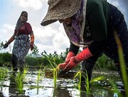 کاشت سنتی برنج توسط شالیکاران گیلانی / تصاویر