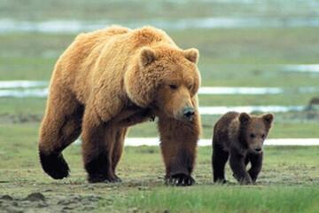 حضور خرس قهوهای و دو تولهاش در ارتفاعات دارآباد تهران / فیلم