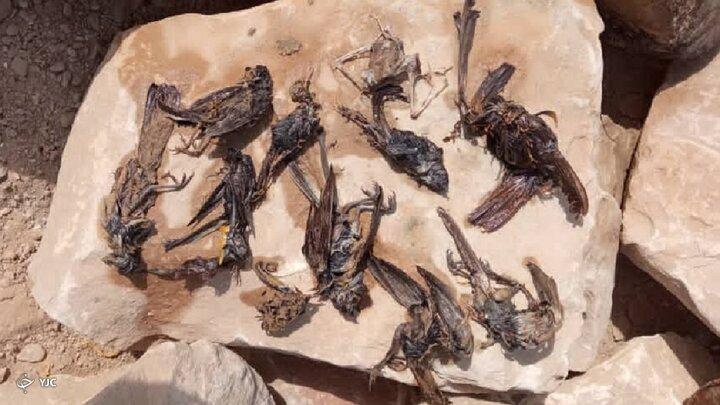 علت مرگ پرندگان سواحل گناوه به زودی اعلام میشود