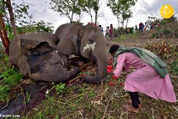 ویدئو تلخ از مرگ دردناک ۱۸ فیل بر اثر صاعقه / فیلم
