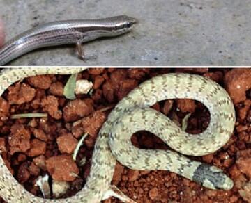 مشاهده ۲ گونه خزنده جدید در دزفول / عکس