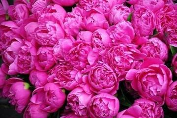 فواید باورنکردنی گل محمدی برای پوست و مو