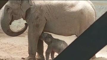 تولد اولین فیل در تاریخ ایران / فیلم