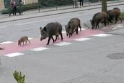 حمله گرازهای وحشی به یک زن در وسط شهر / فیلم
