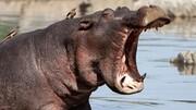 واکنش قلدرانه اسب آبی در لحظه حمله شیر / فیلم