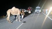 شتر در جاده قم جان یک نفر را گرفت / عکس