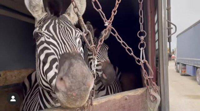 یکی از دو ماده گورخر آفریقایی باغ وحش صفادشت تلف شد