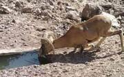 ابعاد ترسناک خشکسالی و گرد و غبار؛ امسال جانوران هم تشنه میمانند؟