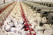 قیمت مرغ به بیش از ۳۰ هزار تومان رسید!