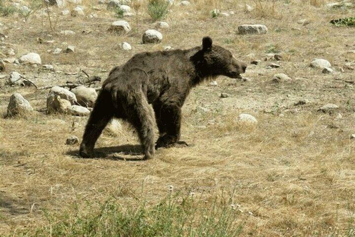 درآوردن خار از چشم توله خرس نالان در کوههای زاگرس / فیلم