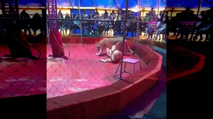 حمله وحشتناک شیر ماده به مسئول آموزش سیرک / فیلم