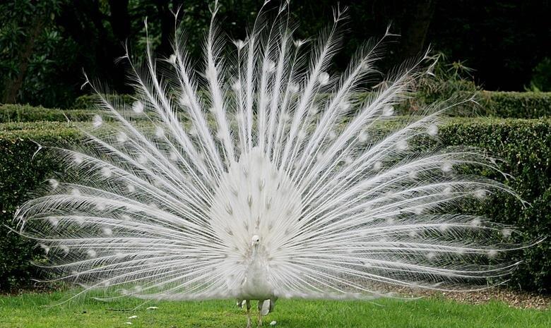 طاووس زال آلبینو