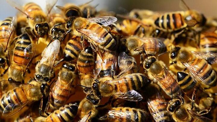 درمان ام اس و پیشگیری از سرطان با نیش زنبور عسل