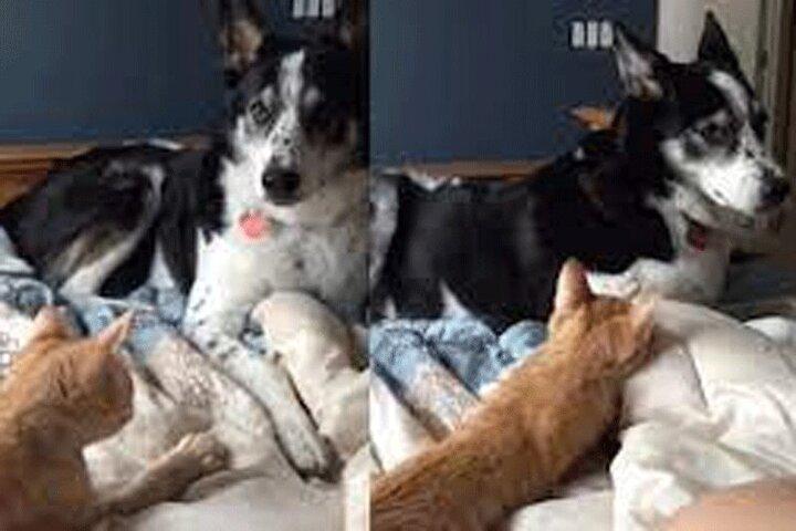 قدرتنمایی عجیب گربه مقابل یک سگ / فیلم