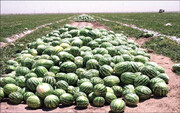 ۲۰ هزار تن پیاز و ۷ هزار تن هندوانه معدوم شد / هندوانه و پیازهای معدوم شده چقدر آب هدر داد؟
