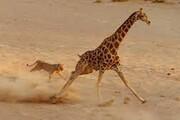 دفاع جانانه زرافه ماده از فرزندانش، در مقابله با گله شیرها / فیلم