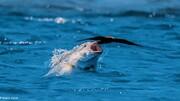 اقدام عجیب ماهی دودزا غول پیکر هنگام شکار مارماهی / فیلم