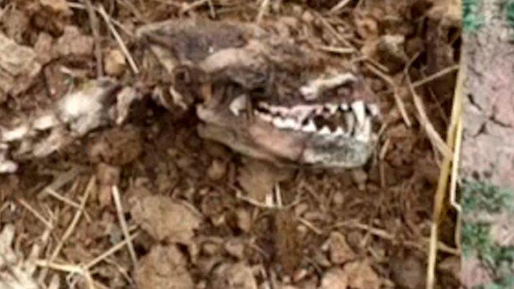 اسکلت یک حیوان عجیب در چهاردانگه کشف شد / عکس و فیلم