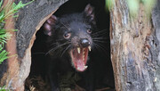 تولد شیطان تاسمانی در استرالیا پس از گذشت سه هزار سال / فیلم