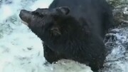 شکار جالب ماهی از رودخانه توسط خرس سیاه / فیلم