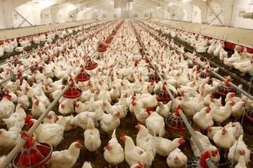 آخرین وضعیت بازار مرغ