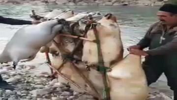 اقدام جالب یک مرد روستایی برای عبور از رودخانه /  فیلم