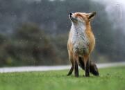 قدمزدن عجیب روباه در حیاط بانک مرکزی / فیلم