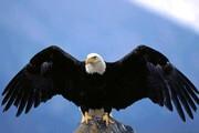 شکار گرگ توسط عقاب عظیمالجثه / فیلم