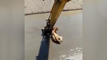 نجات گاو از رودخانه با بیل مکانیکی / فیلم