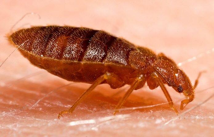 در مورد حشرات موذی رختخواب (Bed Bugs) بیشتر بدانید