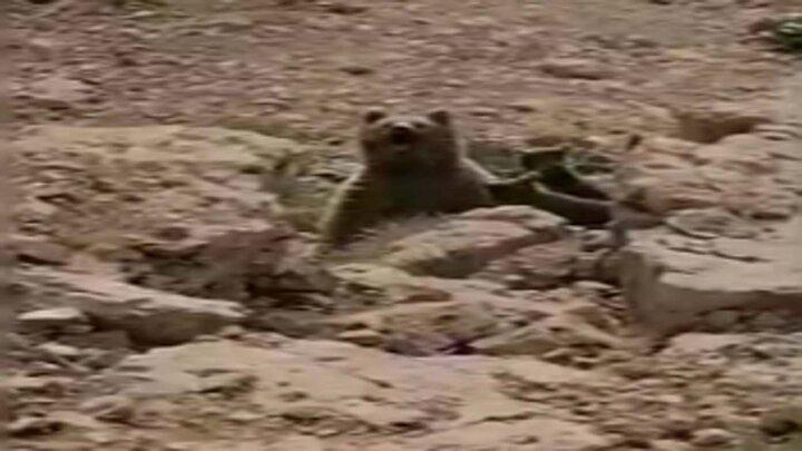 خرس سیاه بانمک و سه تولهاش در کوه بیرک / فیلم