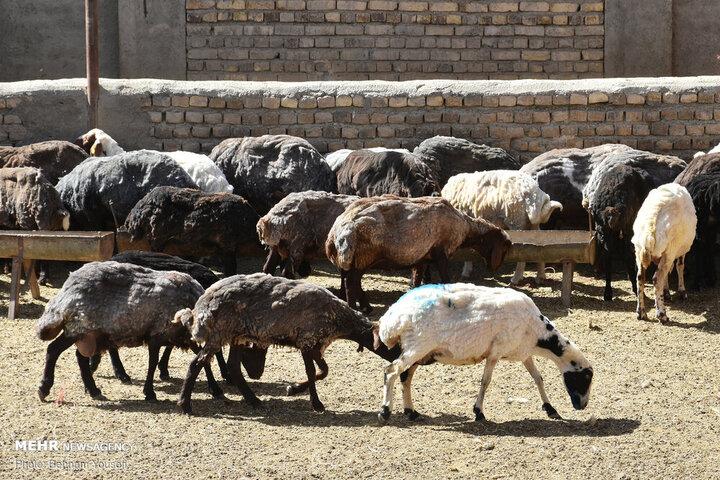 تلف شدن ۵۳ رأس دام در مسجدسلیمان