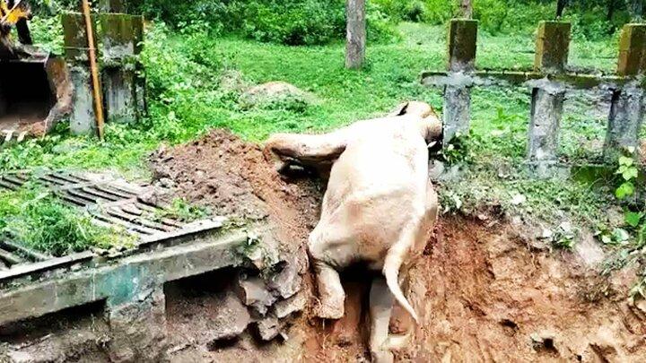 لحظه نجات فیل از یک حفره عمیق / فیلم