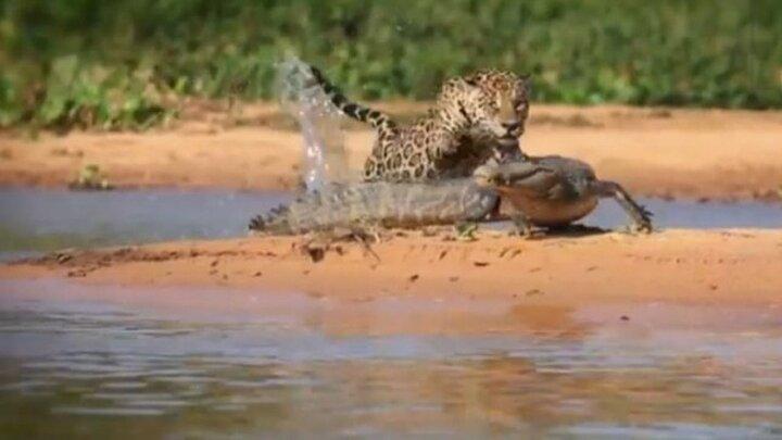 ویدیو تماشایی از لحظه فرار یوزپلنگ از چنگال کروکودیل