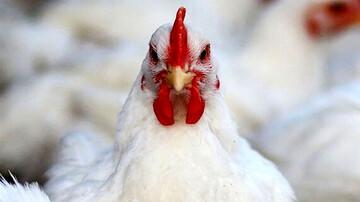 اتفاقی عجیب در بازار مرغ؛ قیمت اسکلت مرغ هم به ۱۵ هزار تومان رسید
