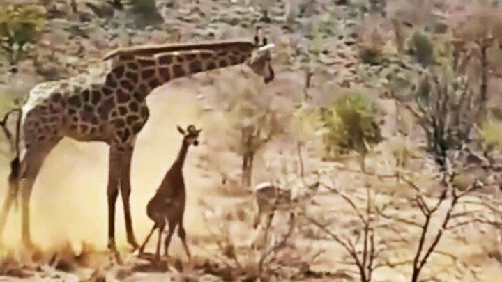 صحنه غمانگیز شکار بچه زرافه توسط شیرهای گرسنه مقابل چشمان زرافه مادر / فیلم