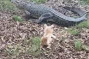 حمله شجاعانه یک سگ به تمساح غولپیکر / فیلم