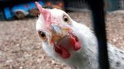 فروش مرغ ۱۰ هزار تومان بالاتر از نرخ مصوب!